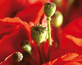 red-poppy-closeup-jpg